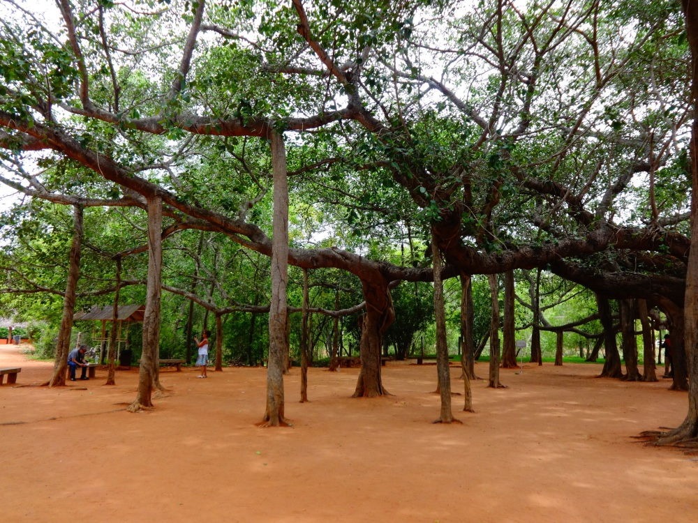 The Big and very Old Banyan Tree