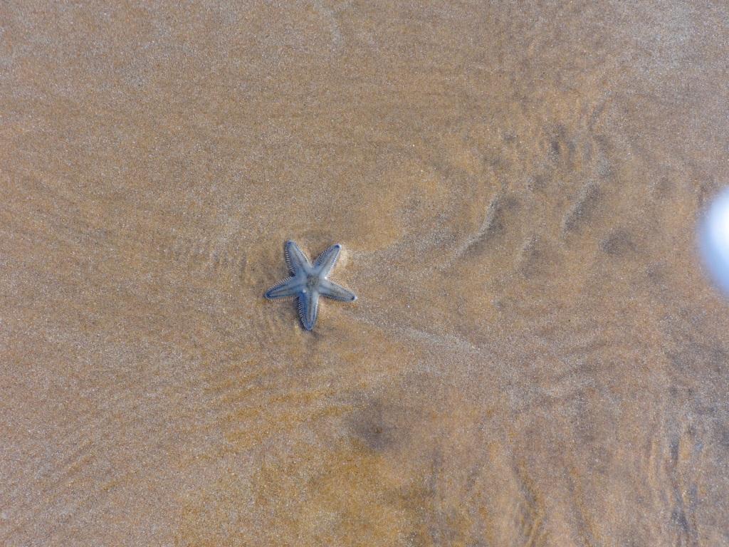 Star Fish at Baga Beach